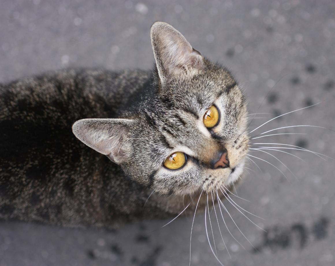 Starrende Katze